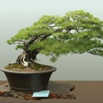 bonsai-tree-1aspac-wp-3-1024×742 (Thought for the day…)